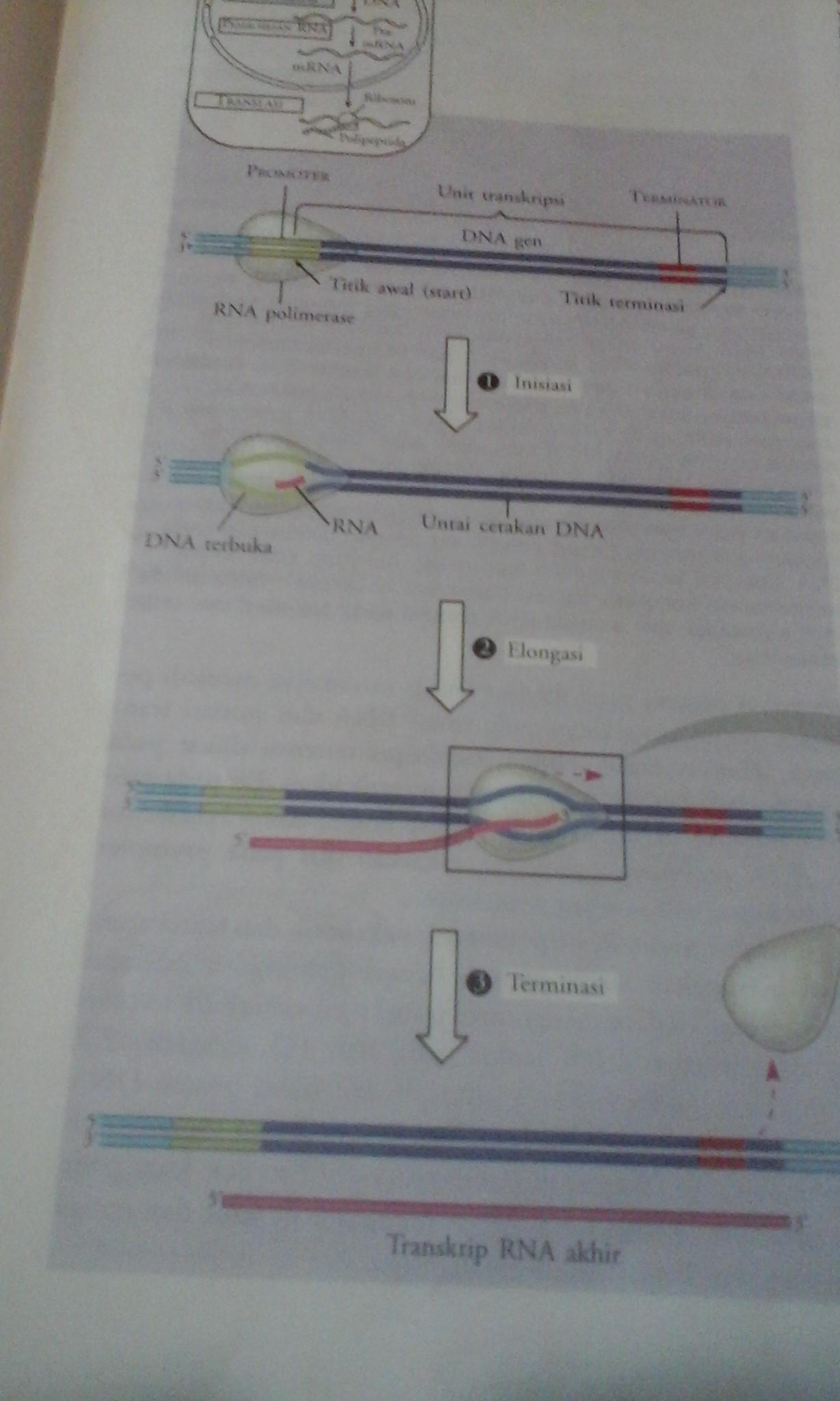 Sintesis protein hastutiwibowo sintesis protein ccuart Images
